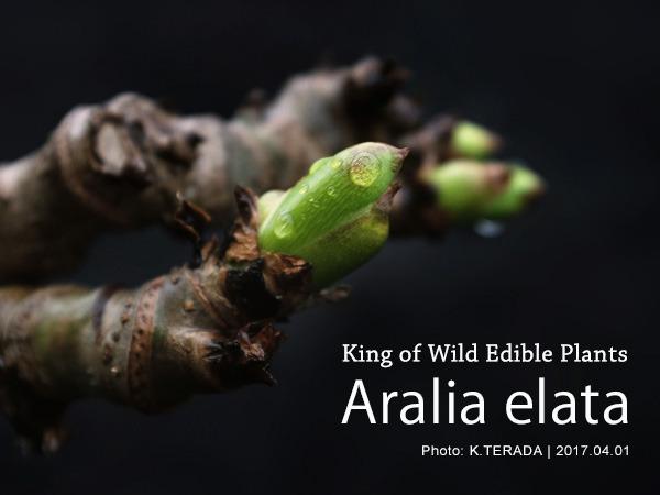 Araliaelata
