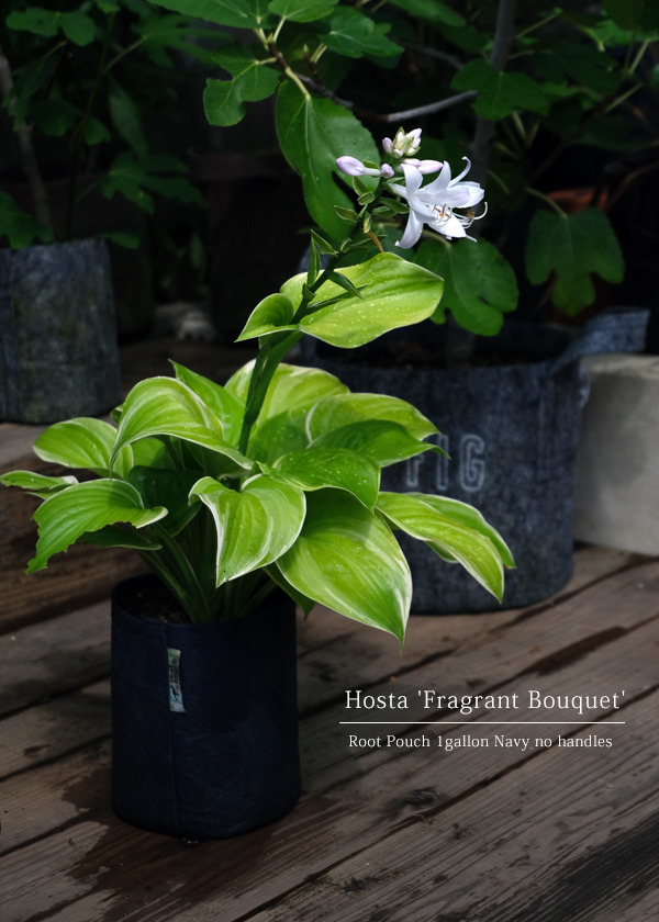 hosta_fragrant_bouquet.jpg