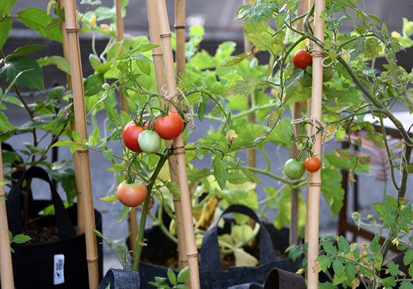 tomato_003.jpg
